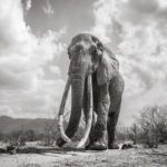Las últimas fotos de la legendaría 'reina elefante'-NATION